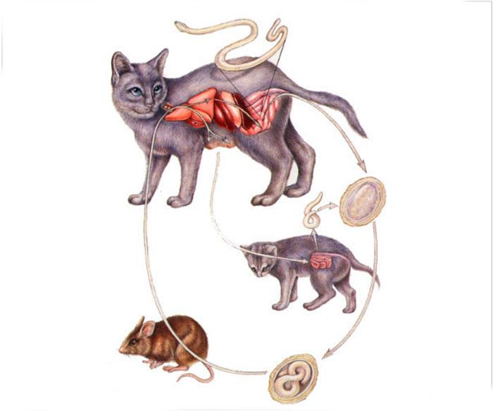 Картинки как выглядят глисты у кошек